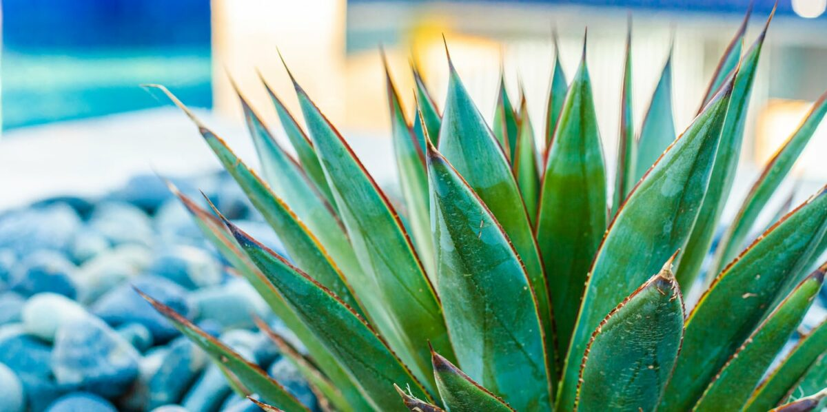 The Best Poolside Plants for Arizona